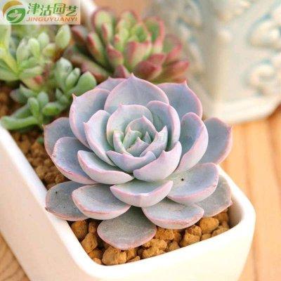 蓝石莲 多肉植物盆栽 室内办公室植物绿植
