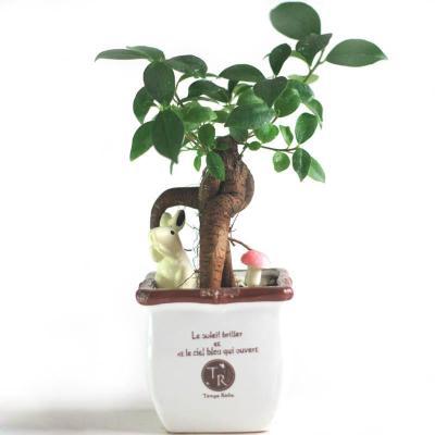 盆景植物人参榕 榕树瓜