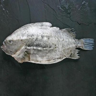 海参斑冰岛野生石斑鱼进口野生冷冻北极深海鱼
