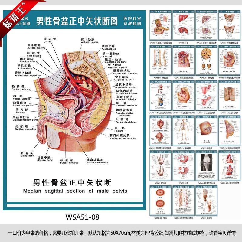 人体结构图,男性骨盆正中矢状断图宣传画wsa51-081504406574796 户内