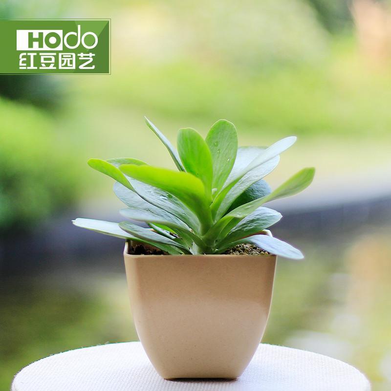 唐印 多肉植物室内绿植 盆栽花卉防辐射迷你 奇趣绿植物红豆园艺 米色
