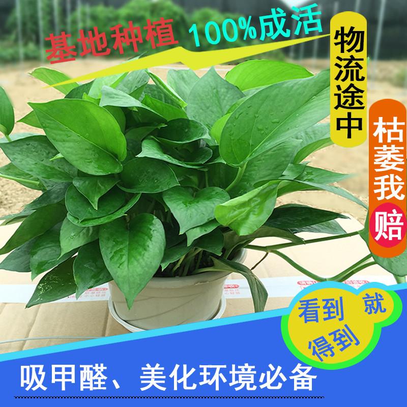 绿萝盆栽植物新房装修办公室吸甲醛除味净化空气绿航绿罗水培吊兰