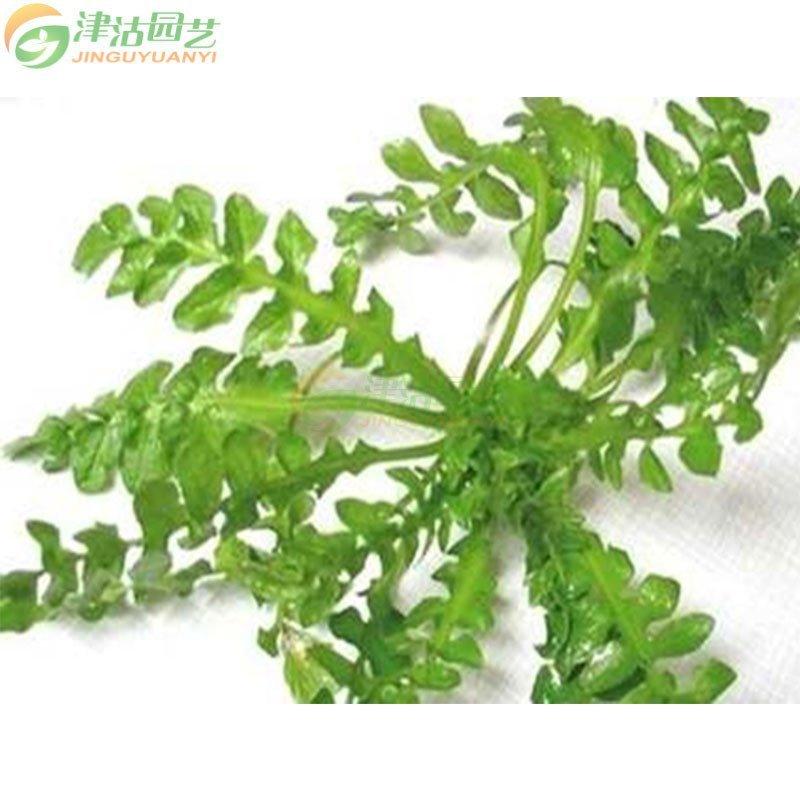蔬菜种子 野菜种子 大叶荠菜种子 护生草家庭盆栽 约10克