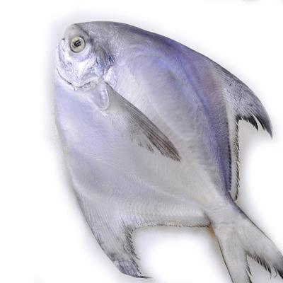 怡鲜来 舟山冷冻鲳鱼 平鱼 银鲳鱼 200-300g/条 国产海鲜水产