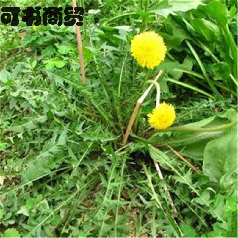 婆婆丁_商贸蒲公英 婆婆丁 野生药用 野菜 阳台庭院蔬菜四季栽培种子