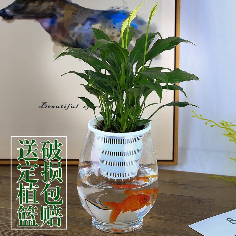 水养�:--y��yan������y��_水养植物玻璃瓶 器皿 水培白掌花瓶恐龙蛋花瓶简约水养植物器皿