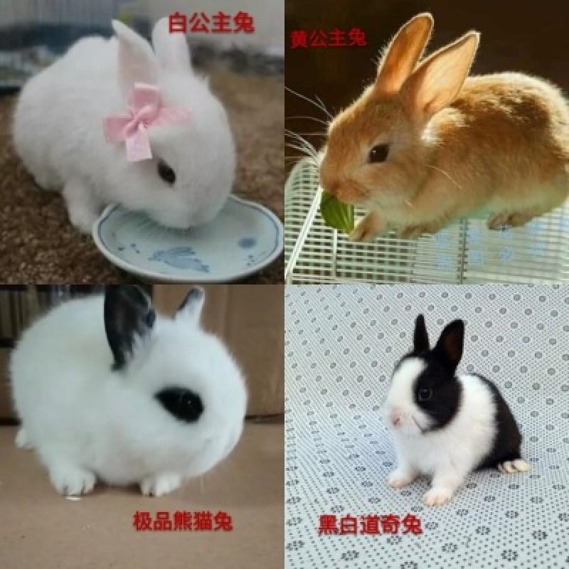 宠物小白兔子公主熊猫黑兔灰兔野兔垂耳兔迷你侏儒茶杯兔