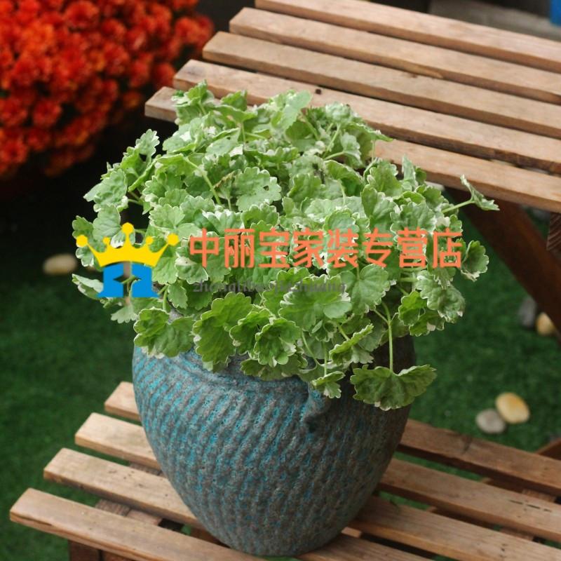 花叶活血丹盆栽花苗 室内室外阳台窗台室外花园垂吊植物花卉盆栽
