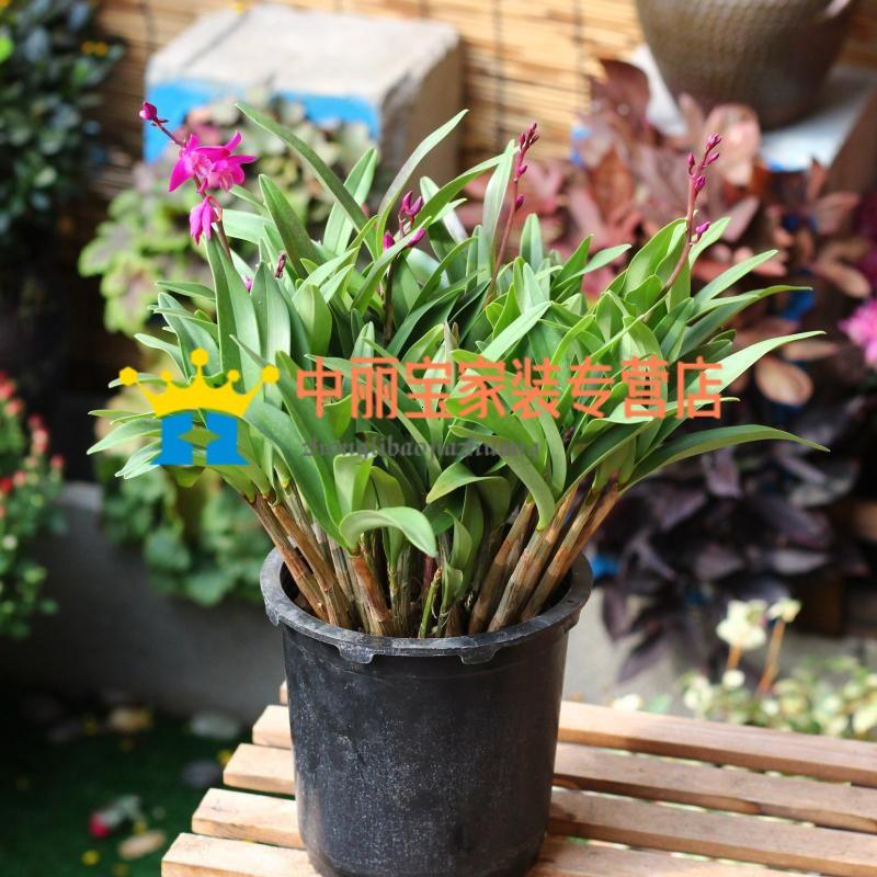 澳洲进口石斛兰花苗盆栽室内客厅阳台植物花卉洋兰花羚羊石斛盆栽