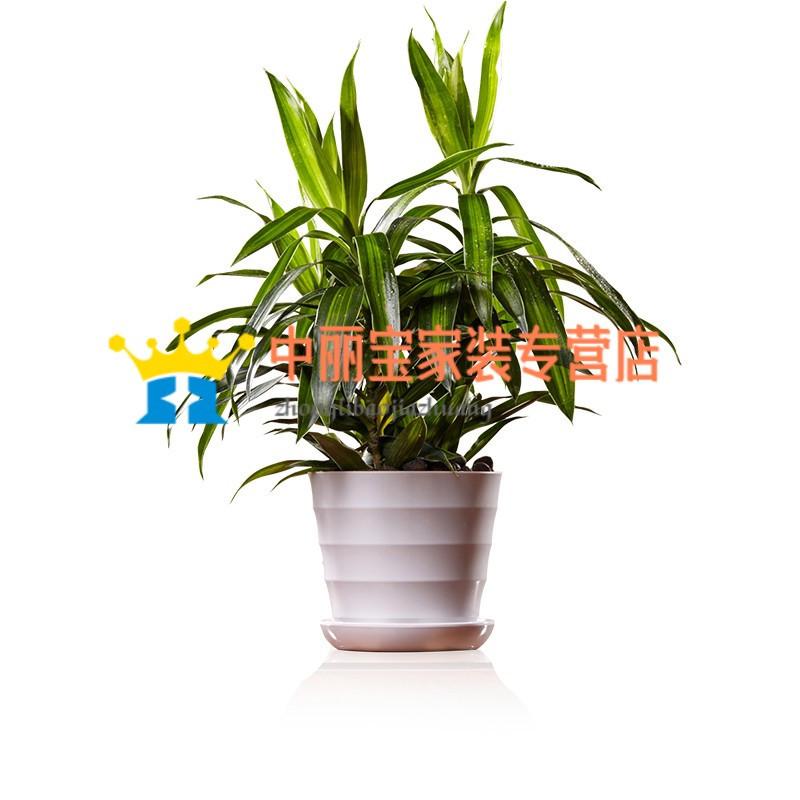 植物百合竹盆栽 室內綠植小盆景綠色辦公室花卉植物 家居植物