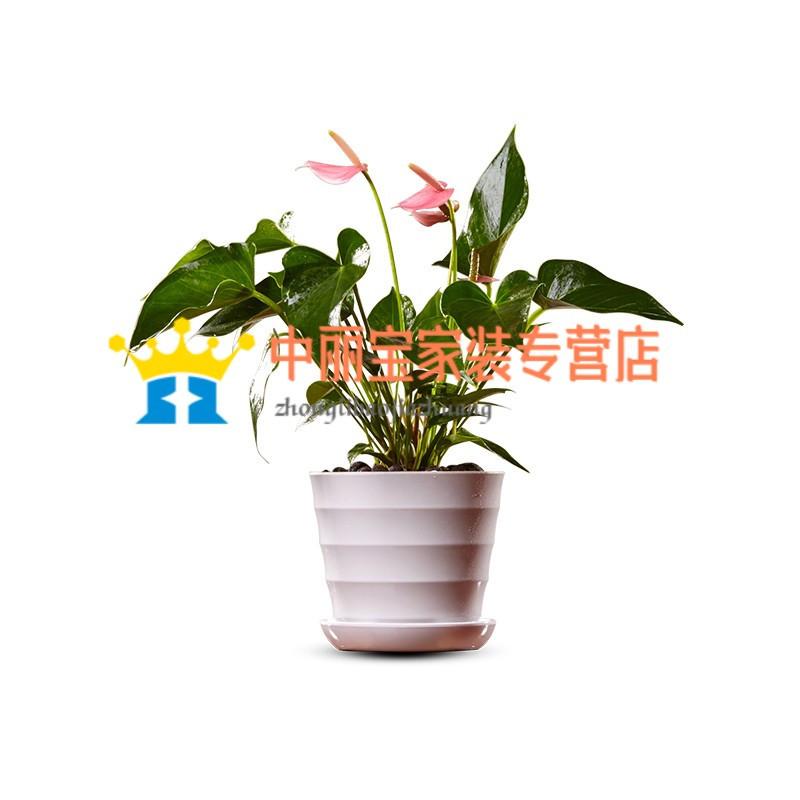 植物粉掌盆栽 室內綠植小盆景綠色辦公室植物 家居花卉植物